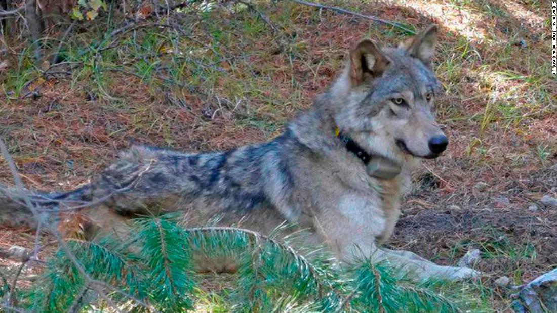 Ein grauer wolf, der wanderte 8,712 km starb in Kalifornien