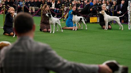 Pointers compete during Breed Judging at the Westminster Kennel Club Dog Show in February 2019.
