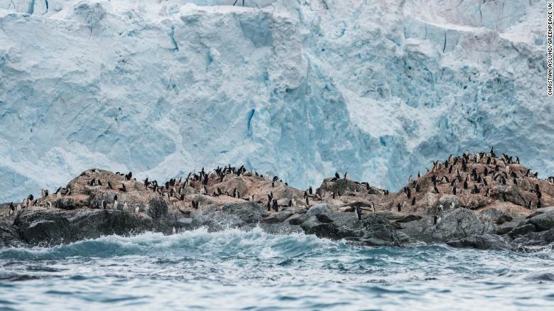 Chinstrap penguin colony in front of a glacier on Elephant Island in Antarctica.