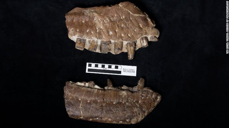 Fossil fragments from the tyrannosaur skull include teeth.