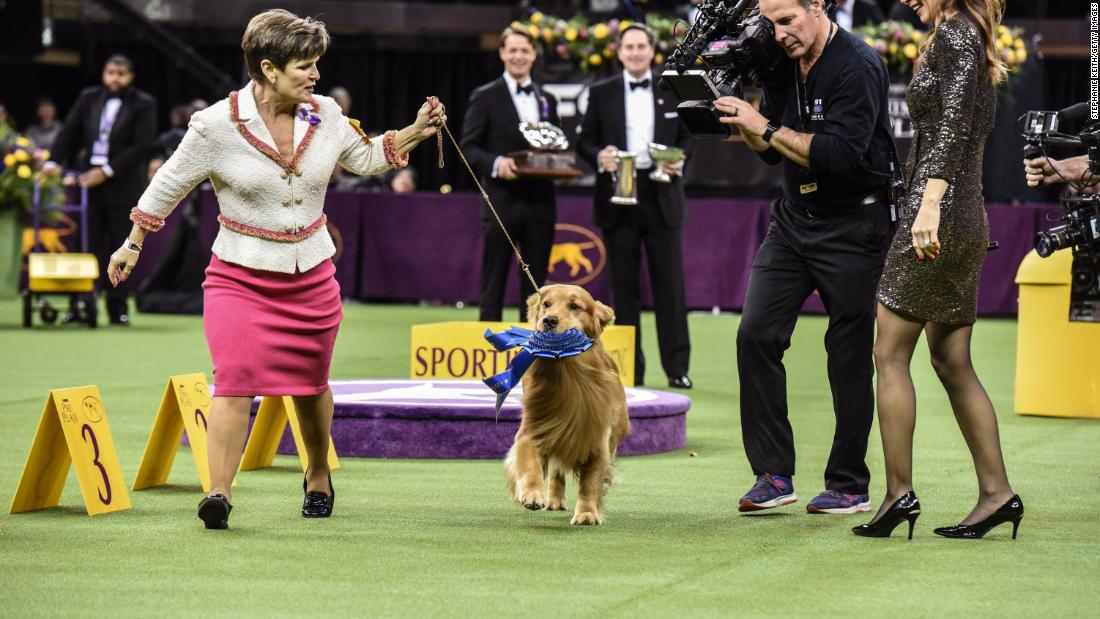 Daniel the golden retriever, a crowd favorite, runs with his handler after winning the sporting group on February 11.