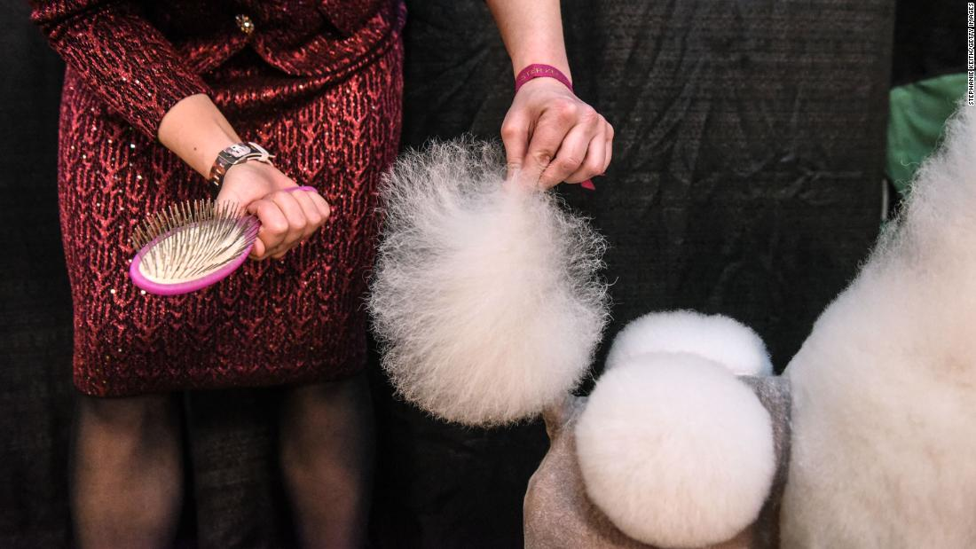 A handler fluffs a poodle's tail. The show brought more than 200 breeds to New York's Madison Square Garden.