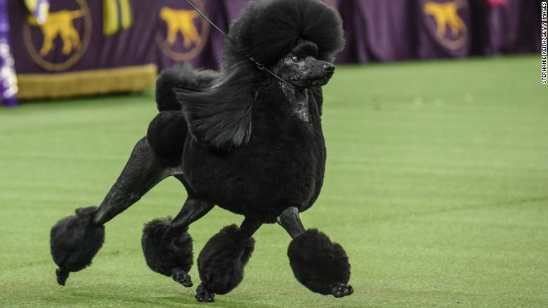 Siba, a standard poodle, took home top honors at the Westminster Kennel Club Dog Show.