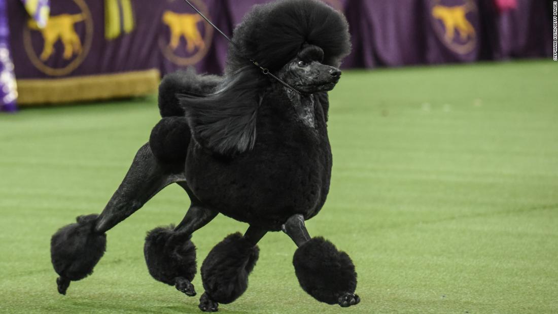 Σε εικόνες: Το 2020 Westminster Dog Show
