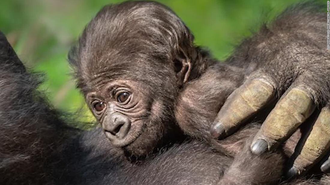 Γορίλλας μωρό που γεννήθηκε στο ζωολογικό κήπο