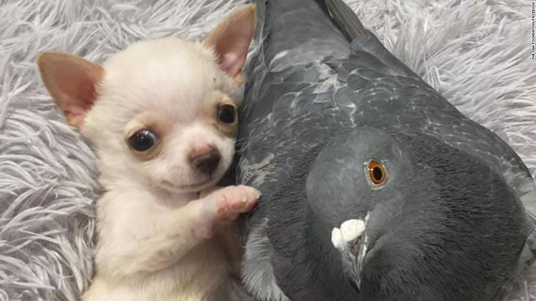 Eine Taube, die nicht Fliegen können freundete sich mit einem Welpen, die nicht gehen können. Ja, es ist so Niedlich, wie es klingt