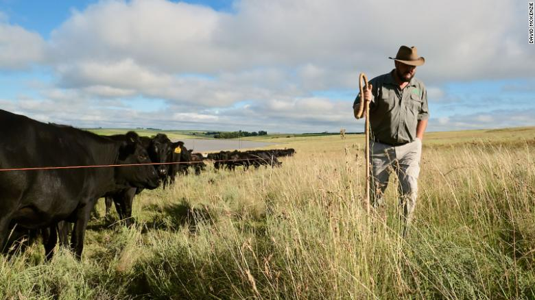 Danie Slabbert walks along a low voltage wire that keeps 500 cattle grazing in a dense herd to replicate bison or antelope herds. The high-intensity grazing helps with natural fertilizing and grass health.
