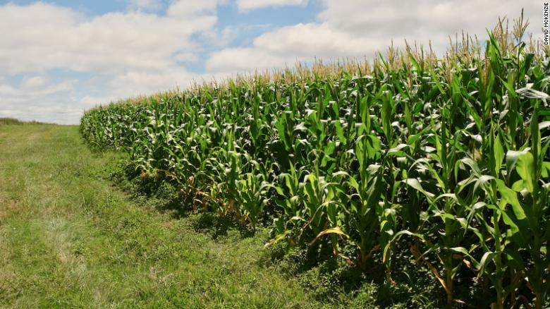 In this farming system, the corn is tightly packed. The fields can look less uniform, but the yields are often strong.