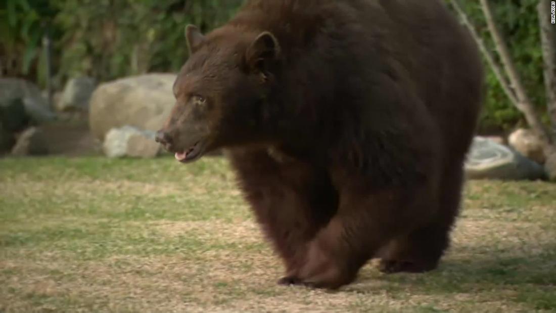 400-pon beruang mengambil perjalanan ke pinggiran kota, dan warga terpesona