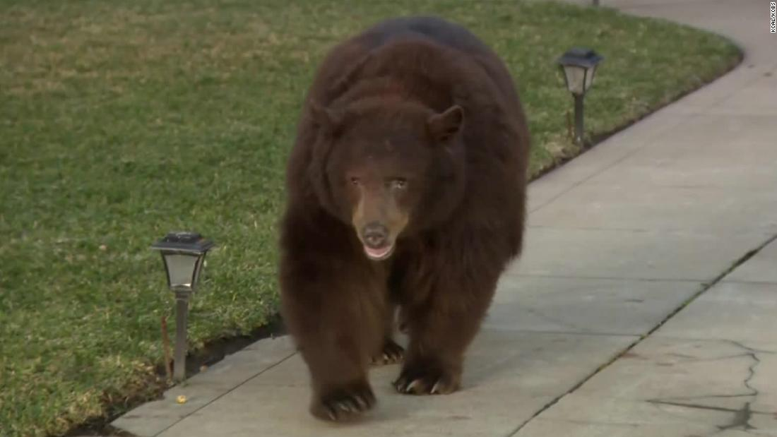A 400-pound bear took a trip to a LA suburb, and residents were fascinated