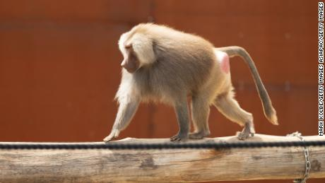 A baboon at Sydney Zoo (file picture).
