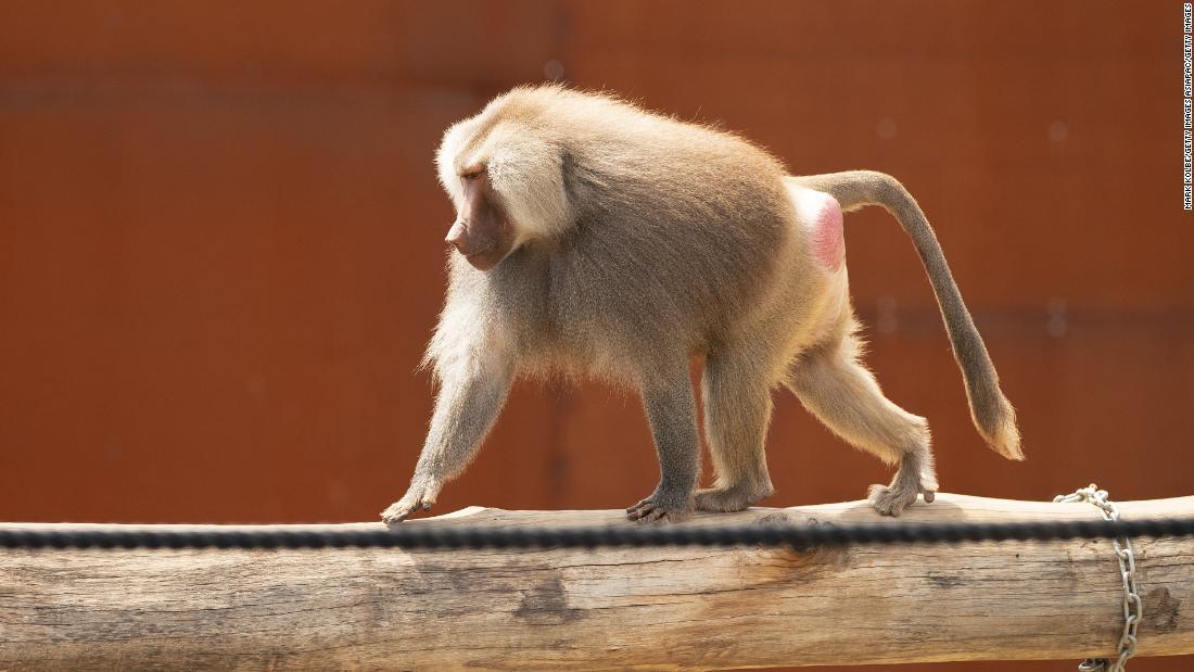 Baboons break out of captivity and go on the run near Sydney hospital