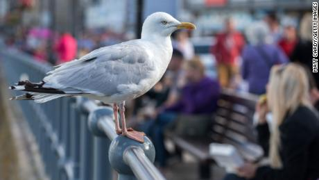 Researchers tested herring gulls in the UK as part of the study.