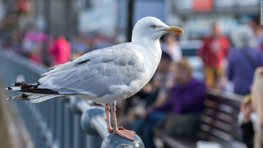 Seagulls are more likely to go after food humans have touched - CNN