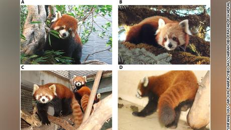 Images A and C show the Chinese red panda, while B and D show the Himalayan red panda. Figure photo credits: (A) Yunfang Xiu/Straits (Fuzhou) Giant Panda Research and Exchange Center (B) Arjun Thapa/Institute of Zoology, Chinese Academy of Sciences. (C) Yibo Hu/Institute of Zoology, Chinese Academy of Sciences. (D) Chiranjibi Prasad Pokheral/Central Zoo, Jawalkhel, Lalitpur, Nepal.