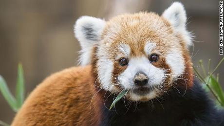 There are two distinct species of red panda, scientists have found.