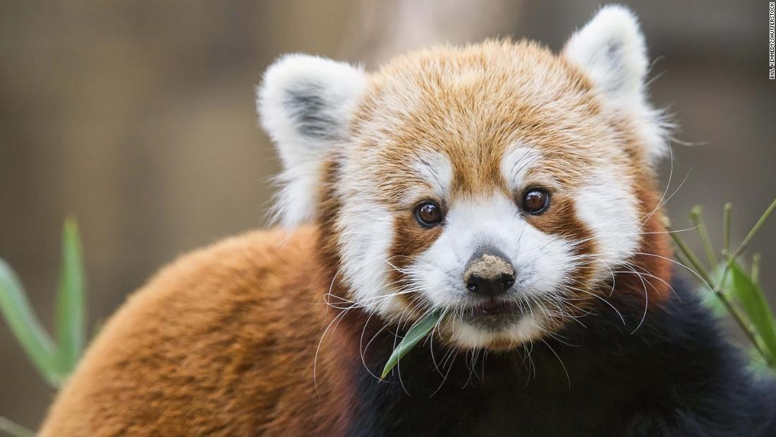 Turns out there are actually two species of red panda, not just one