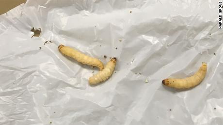 The caterpillars can live on a diet of plastic bags.