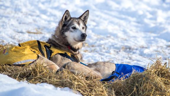 An Alaskan tradition: The Iditarod has been an annual sporting event since 1973, bringing hundreds of spectators and mushers (competitors) from across the world.