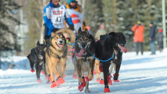 Teams of dogs: There are 12 to 16 dogs on each team. At least five dogs must be in harness pulling the sled at the finish line.