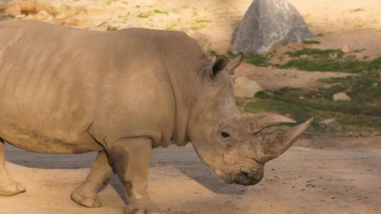 Northern white rhinos embryos _00000000