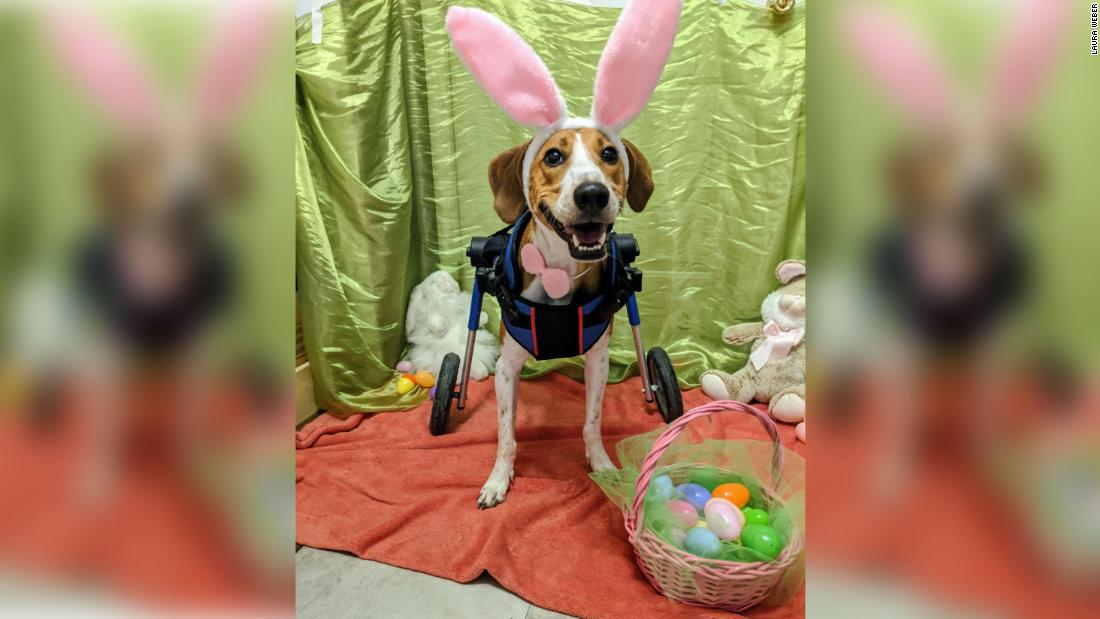 Lieutenant Dan the two-legged hound is competing to be the next Cadbury Bunny