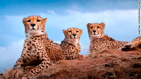 A group of cheetahs in Namibia.