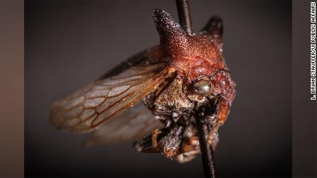 Kaikaia gaga is the newest species of treehopper, a common insect group known for its bright colors and ostentatious flair. The newest find shares a name -- and idiosyncratic style -- with Lady Gaga.