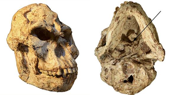 This is the 3.67-million-year-old 'Little Foot' skull. The view from the bottom (right) shows the original position of the first cervical vertebra, which tells us about her head movements and blood flow to the brain.