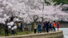 People visit the Tidal Basin to see this year's cherry blossoms on March 21, 2020 in Washington.