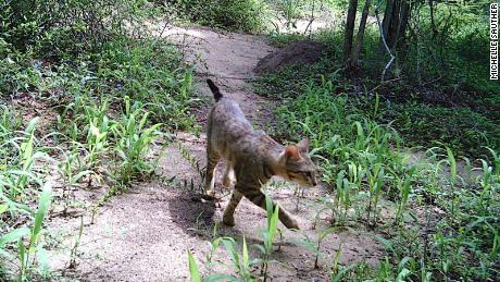 A forest cat is seen on a camera trap in Madagascar's Bezà Mahafaly Special Reserve.