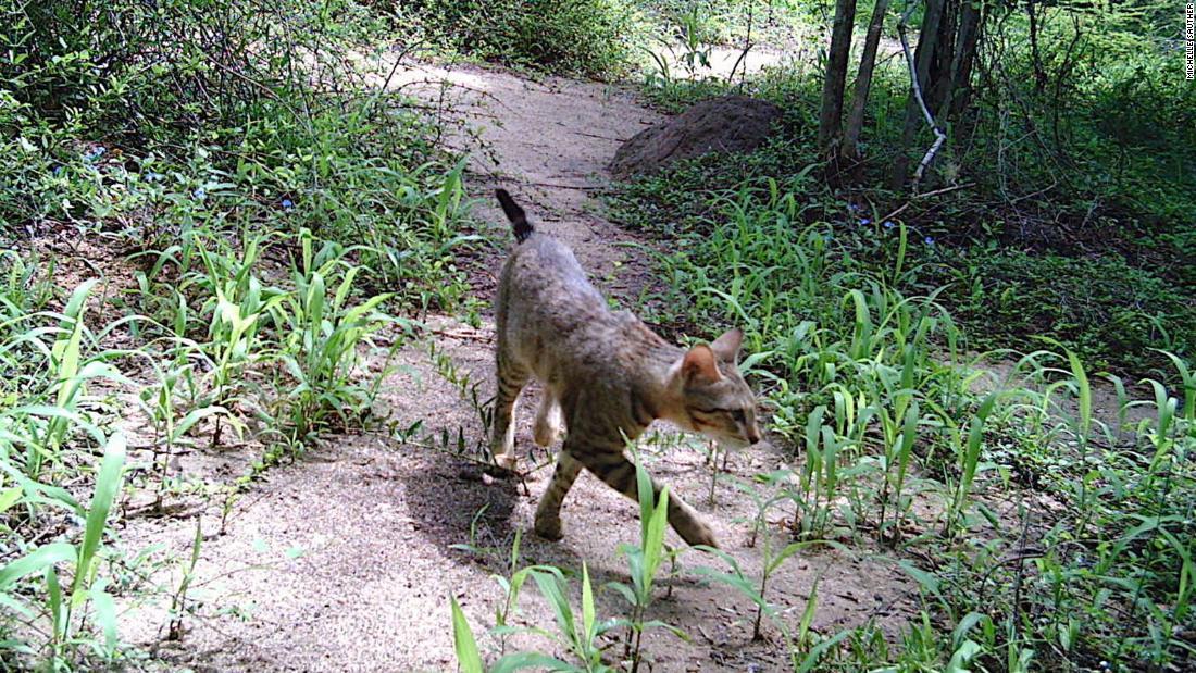 Das Geheimnis Madagaskars Wald Katzen