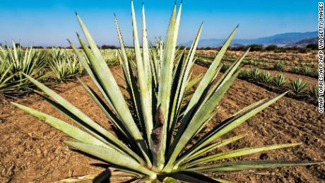 "View of a plantation of ""espadin"" agave, the main variety of agave used to make mezcal at a field in Santiago Matatlan, Oaxaca state, Mexico on February 26, 2017. / AFP PHOTO / Omar TORRES        (Photo credit should read OMAR TORRES/AFP via Getty Images)"