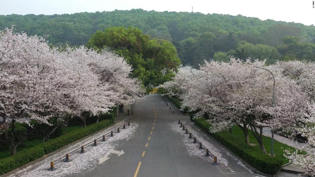 Cherry blossoms at coronavirus ground zero