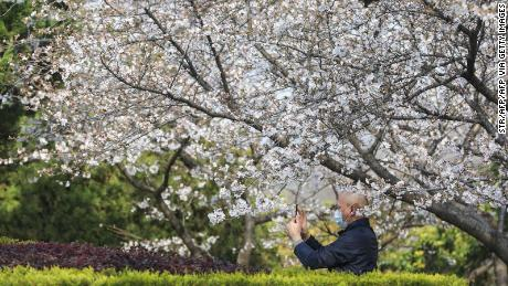 A staff member takes photos of cherry blossoms at Wuhan University in Wuhan in China's central Hubei province on March 17, 2020. - Since the campus is closed due to the COVID-19 coronavirus, well known for its cherry blossoms countrywide, it now live streams the trees everyday. China reported on March 17 just one new domestic coronavirus infection but found 20 more cases imported from abroad, threatening to spoil its progress against the disease. (Photo by STR / AFP) / China OUT (Photo by STR/AFP via Getty Images)