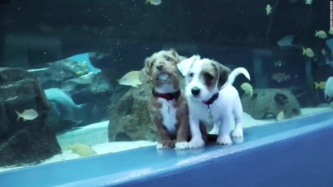 Δείτε το αξιολάτρευτο κουτάβια γύρω από το Georgia Aquarium