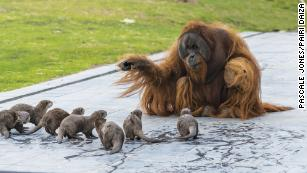 Zoo shares adorable pictures of orangutans playing with their otter friends