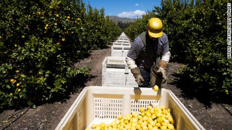 MESA, CALIFORNIA - MARCH 27: Agricultural laborers pick lemons inside the orchards of Samag Services, Inc, where they grow Avocado, Lemons and Oranges. The bottom has fallen out of the Avocado market as restaurants close during this period of the Covid-19 Coronavirus pandemic. Agricultural workers have become essential workers in the race to maintain Americas food supply while simultaneously staying healthy. (Photo by Brent Stirton/Getty Images.)