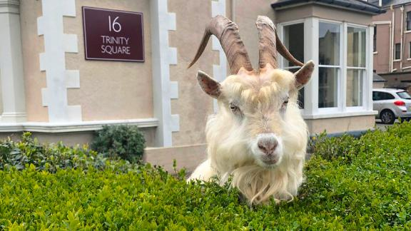 Image for Wild goats take over Welsh town amid coronavirus lockdown