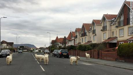 The goats were roaming the street in front of Carl Triggs' car.