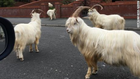 Llandundo resident Carl Triggs pictured the wild goats on the street.