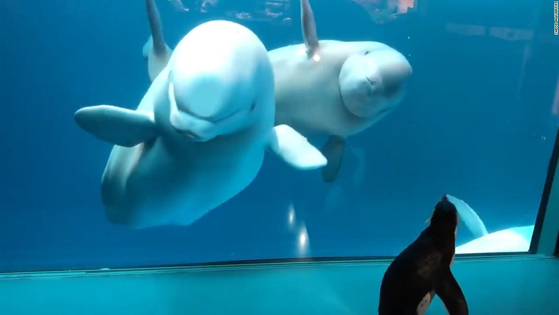 Penguin Visit Beluga Whales In Aquarium