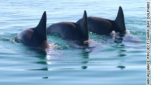 Male bottlenose dolphins form gangs to get a mate