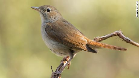 Nightingales are known for their song, but shorter wingspans make their migration harder.