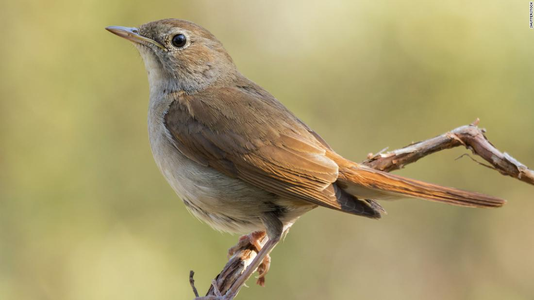 Climate change is making nightingales' wings shorter and their annual migration harder, study finds - CNN International
