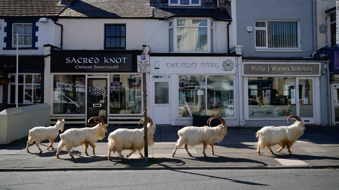 "Mountain goats <a href=""https://www.cnn.com/2020/03/31/europe/wild-goats-wales-streets-lockdown-scli-gbr/index.html"" target=""_blank"">roam the quiet streets</a> of Llandudno, Wales, on March 31. ""They sometimes come to the foot of the Great Orme in March, but this year they are all wandering the streets in town as there are no cars or people,"" said Mark Richards of the hotel Landsdowne House."
