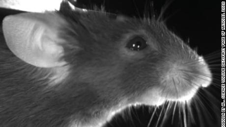 Eek! Mice make facial expressions based on their emotional state, new research published in Science shows. Reprinted with permission from N. Dolensek, N. Gogolla et al., Science Volume 367, 2020