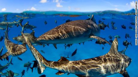 Sharks and large marine predators have experienced significant decline, but evidence shows their stocks can also be rebuilt with the appropriate protection measures.