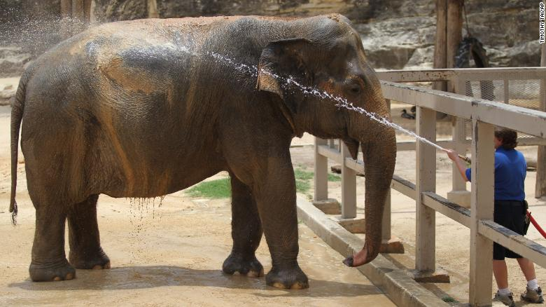 Lucky, an Asian elephant, has been at the San Antonio Zoo since 1962.