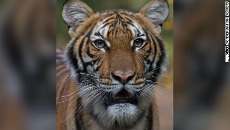 Nadia, a 4-year-old female Malayan tiger at the Bronx Zoo, has tested positive for COVID-19